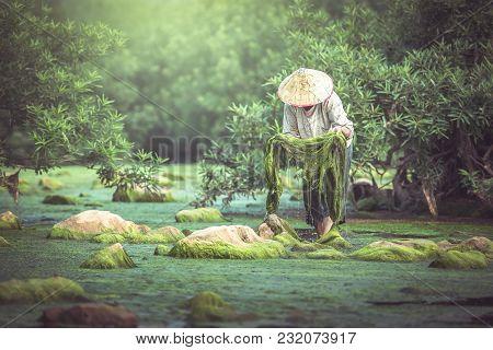 Asian Fisheries Keep Algae Growing In The Mekong River.