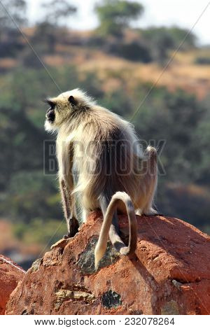 presbytis monkey on kumbhalgarh fort wall - india