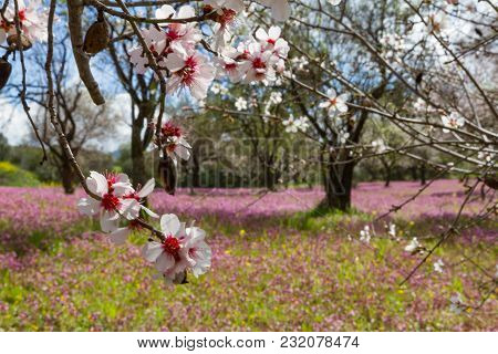 Blossoming Almond Trees In A Field With Purple Flowers In Spring In Cyprus