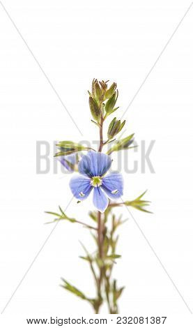 Blue Small Meadow Flowers Isolated On White Background