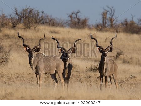 drei Erwachsene Kudu Ochsen