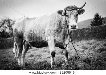 Cow In Vilaboa, Galicia. Portrait In Black And White