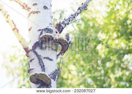 Woodpecker Birch Barrel.