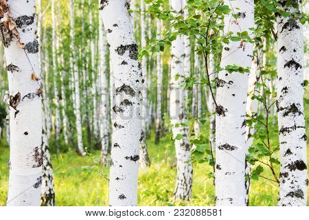 White Birch Trunks. Summer Sunny Russian Forest.