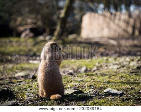 Lovely Black-tailed Prairie Dog On Grassy Ground On A Sunny Spring Day