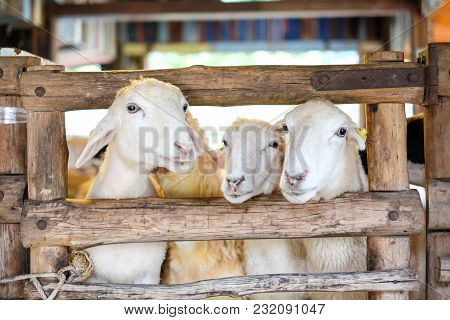 Sheep In The Wooden Fence At Farm - Suan Phueng, Ratchaburi Thailand For Animal Background Or Textur
