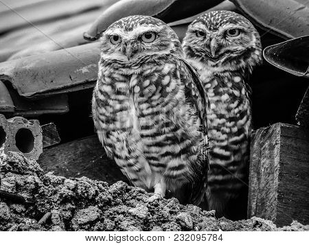 Black And White Photograph Of Two Owls In The Middle Of Bricks On A Rooftop, In The Rural City Of Mo