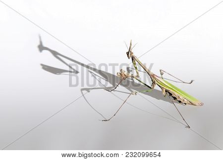 A Mantis With Its Long Shadow On A White Background, Looks Like A Big Monster