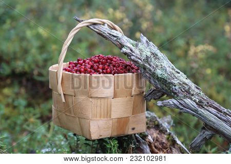 Cowberry Is A Healthy Red Berry Growing In The Forest