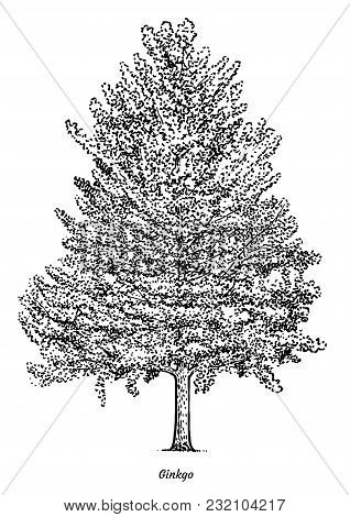 Ginkgo Tree Illustration, Drawing, Engraving, Ink, Line Art