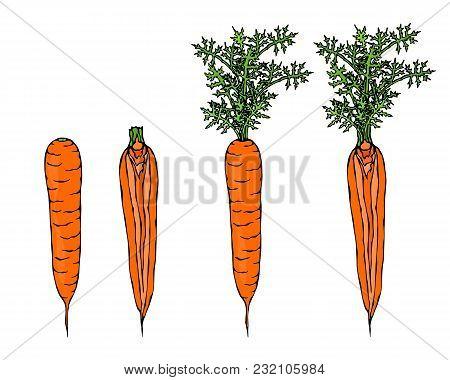Fresh Orange Carrots With Leaves. Ripe Vegetables. Carrots With Tops. Vegetarian Cuisine. Salad Ingr