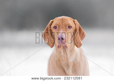 Photo Of Hungarian Hound Dog In Freezy Winter Time