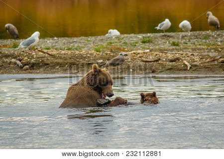 Swimming With Mama-bear, Mama-bear Teach Her Boy How To Swim, Pleasant Watching Two Bears In Water,