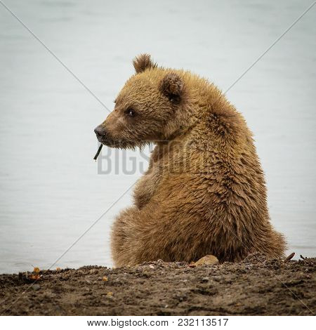 Curious Brown Baby-bear In Katmia Np In Alaska, Baby Bear Back Sight, Little Bear Looking At Us, Wil