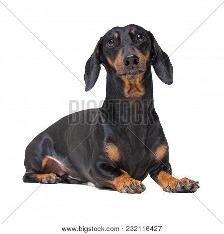 Portrait Dachshund Dog, Black And Tan,lying Down On The Floor, Isolated On A White Background