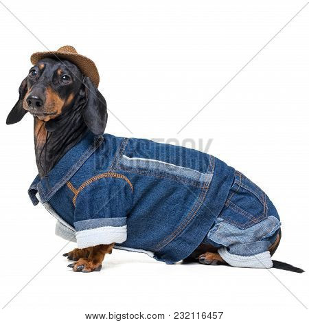 Portrait In Full Growth Dachshund Dog, Black And Tan, Wearing Western Cowboy Hat And Jeans Costume,
