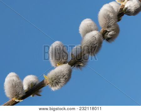A Closeup Of A Pussy Willow (salix Caprea) In Early Spring In Vienna