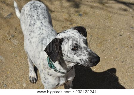 Aruban Cunucu Dog With White And Black Spots.