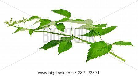 Green Leaves Of Raspberry, Garden Raspberry,  Leaves On White Background. Blackberry Leaves.
