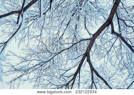 Winter Dry Branches Of Trees In The Snow. The Bottom View