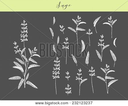 Vector Hand Drawn Medicinal, Culinary Herb Salvia Officinalis. Culinary Plant Sage.