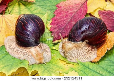 Two Giant African Achatina Snails On Multicolored Autumn Foliage Taken Closeup.
