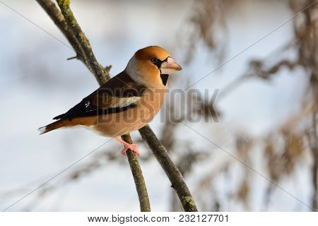 The Hawfinch (coccothraustes Coccothraustes) Sits On A Thin Branch, Meeting The Dawn.