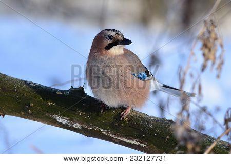 Eurasian Jay (garrulus Glandarius) Sits On A Thick Branch, Turning His Head.