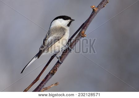Willow Tit (poecile Montanus) Sitting On A Branch Of An Apple Tree (firmly Clings Claws).