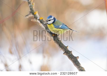Eurasian Blue Tit (cyanistes Caeruleus) Sits On A Branch Covered With Lichens Against A Background O