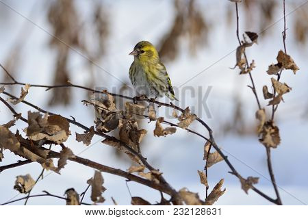 Eurasian Siskin (spinus Spinus) Sits On A Branch Of A Birch Covered With Dried Leaves.