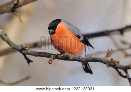 Eurasian (common) Bullfinch (pyrrhula Pyrrhula) Looks From A Branch Of Wild Apples To The Ground (wh