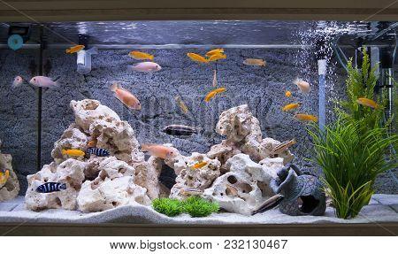 Aquarium With Cichlids Fish From Lake Malawi