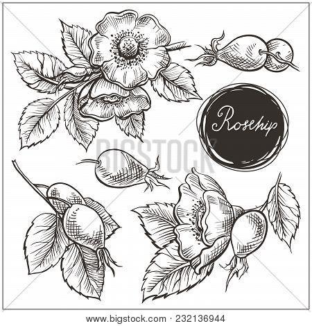 Set Of Hip Rose Flowers, Buds, Berry And Branches. Vintage Botanical Engraved Illustration. Vector H