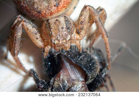 Spider And The Fly. Arthropoda  Arachnida  Araneae  Araneomorphae  Pisauridae  Dolomedes Fimbriatus