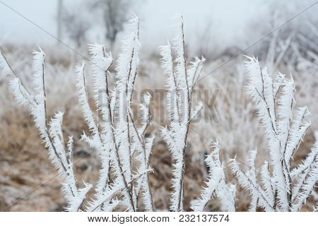 Beautiful Hoarfrost On The Frozen  Bush Branches With White Fog.