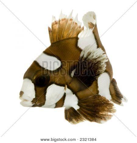 Harlequin Or Clown Sweetlips - Plectorhynchus Chaetodonoides