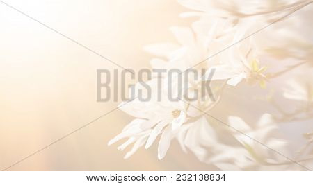 Soft Focus Image Of Blossoming Magnolia Flowers In Springtime With Sun Light And Copyspace. Abstract