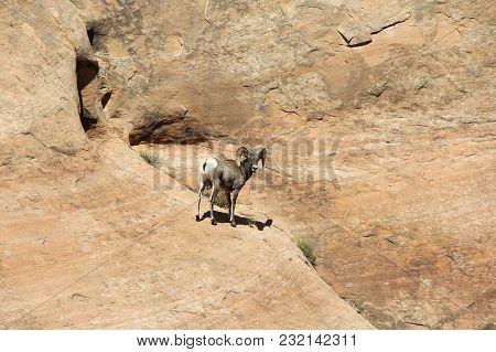 Wild Rocky Mountain Bighorn Sheep / Ram Rock Climbing In Dinosaur National Monument, Utah