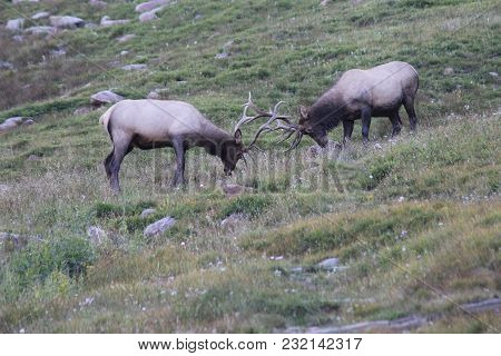 Two Wild Bull Elk Fighting / Head Butting On A Hillside In Rocky Mountain National Park, Colorado