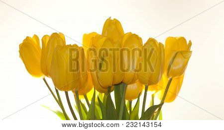 Yellow Tulips On White  Background, Studio Picture