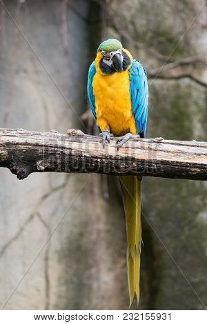 The Blue-and-yellow Macaw (ara Ararauna), Also Known As The Blue-and-gold Macaw.