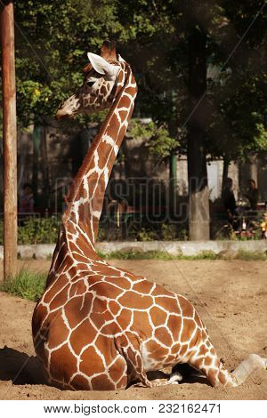 giraffe in zoo resting under the summer sun.