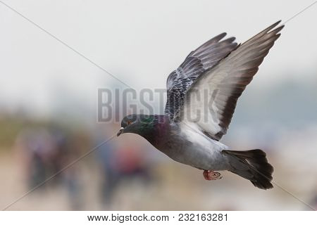 Domestic Pigeon, Columba Livia Domestica, Columbidae, Spreading Wings Open And Flying Against Isolat