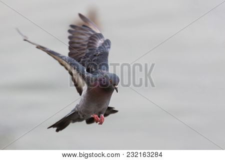Domestic Pigeon, Columba Livia Domestica, Columbidae, Flapping Wings And Landing On Isolated Backgro