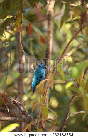 Indigo Bunting Passerina Cyanea Bird Forages For Food In The Bushes And From A Bird Feeder In Naples