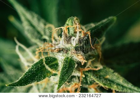 Concepts Of Grow And Use Of Marijuana For Medicinal Purposes. Concepts Legalizing Weed Beautiful Bud