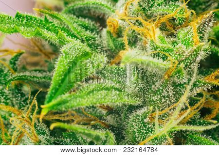 Cannabis Macro Shot On Buds Weed With Sugar Trichomes. Concepts Of Grow And Use Of Marijuana Trichom