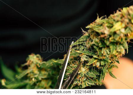 A Man Is Cutting Fresh Cannabis Buds. Vintage Marijuana