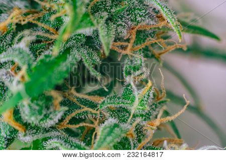 Before Buds Harvest Indoor Grow Buds Cannabis Macro Shot With Sugar Trichomes. Concepts Of Grow And